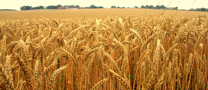 Beer Crisis Brewing as Heavy Rains Put a Pinch on America's Malt Barley Crops