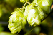European Town Known for Producing Hops Will Soon Have Its Own Public Beer Fountain