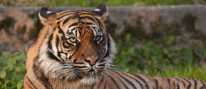 Drink This Beer to Help Save the Tiger Population