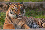 Craft Beer Portland | Drink This Beer to Help Save the Tiger Population | Drink Portland